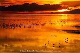 Antelope Island State Park, Utah. USA. American avocets (Recurvirostra americana), Wilson's phalaropes (Phalaropus tricolor) and other waders and waterfowl on Great Salt Lake at sunset.