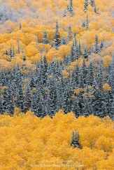 Utah. USA. Snow on aspen and spruce forest in autumn. Glenwood Mountain. Fishlake National Forest.