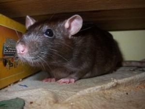 pic rat