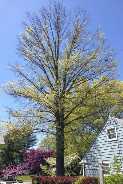 A pin oak in New Jersey with signs of bacterial leaf scorch.