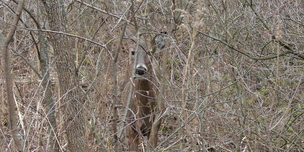 A white-tailed deer is barely visible behind trees and shrubs, which are a source of food during the fall and winter months