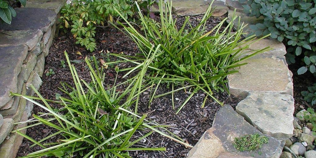Damage to Hosta plants by grazing deer