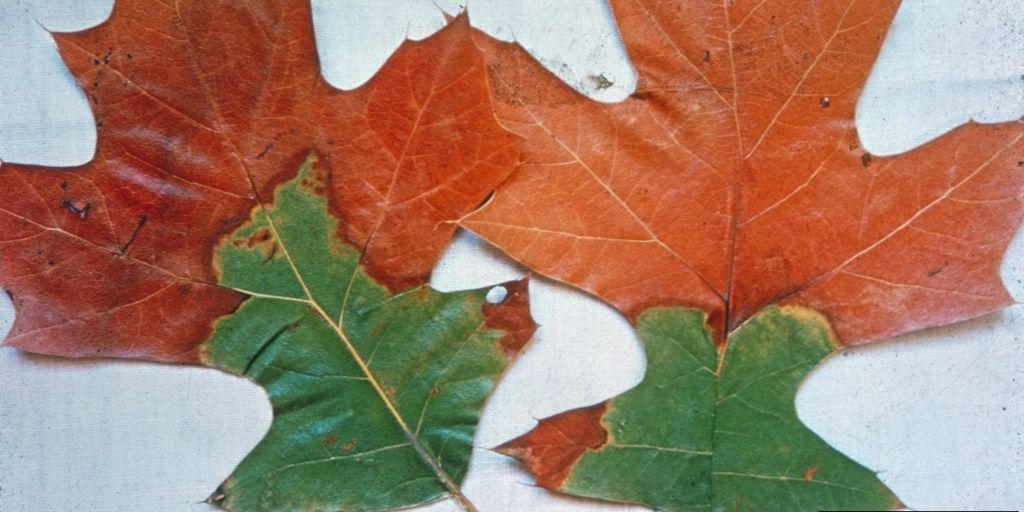 Symptoms of oak wilt on black oak (Quercus velutina) leaves showing bronzing starting at the leaf tips and lobes, with a green area at the stem. Photo courtesy of C.E. Seliskar, bugwood.org.