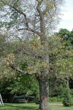 An older oak tree shows the symptoms of oak wilt.
