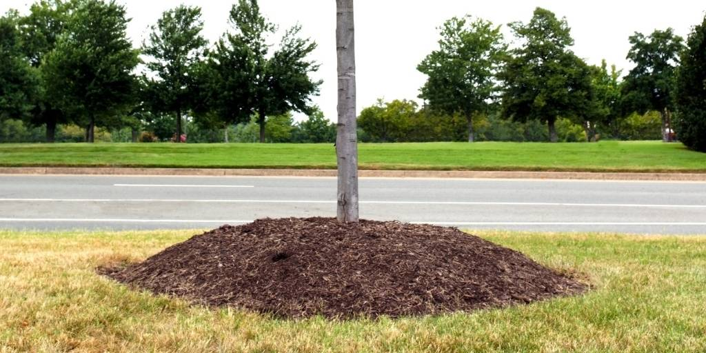 Mulch piled around the base of a tree creating a mulch volcano.