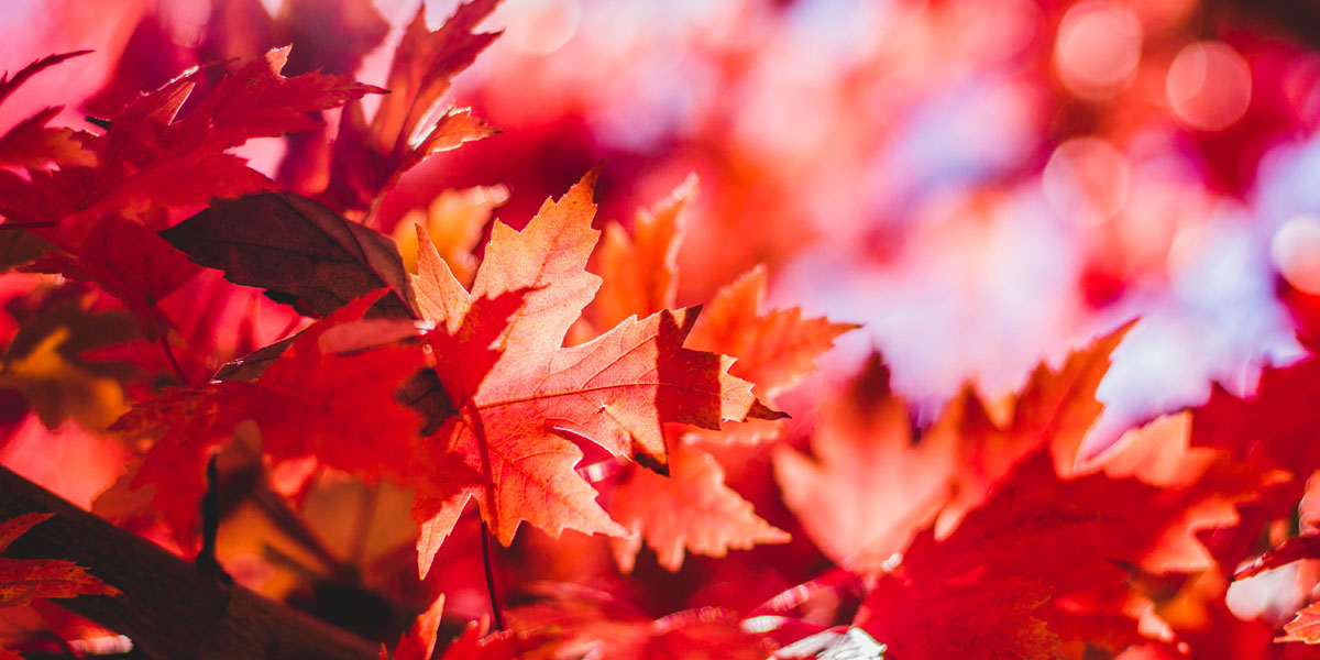 Great Trees For Fall Color In New Jersey Alpine Tree Service