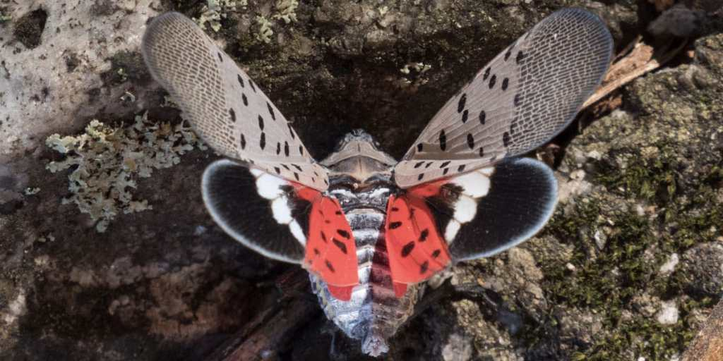A spotted lanternfly with its wings outstretched, revealing the dots and red, black, and white coloring