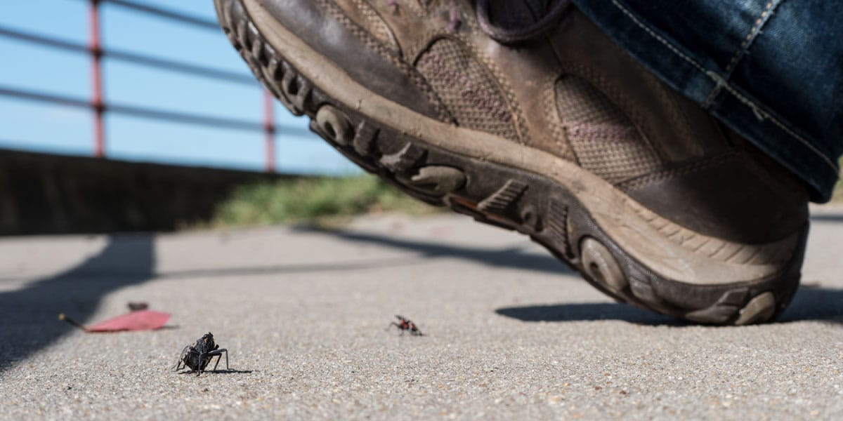 Close-up image of a man's shoe about to stomp on a spotted lanternfly