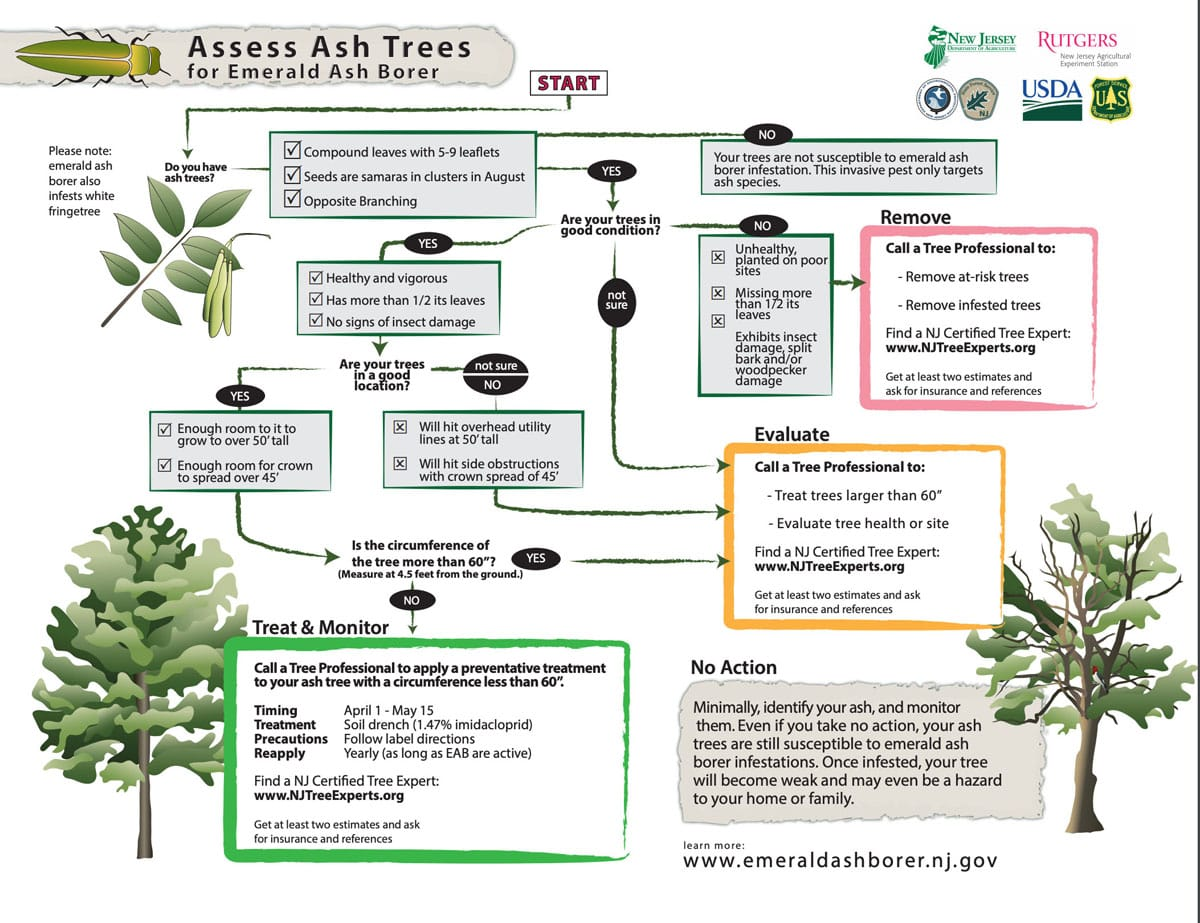 A flow chart from the New Jersey department of Agriculture helping homeowners find out what to do if they have Ash trees. All will be affected by the Emerald Ash Borer