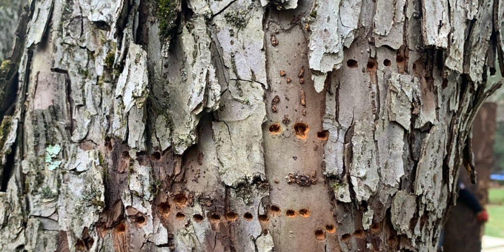 Sapsucker holes on the trunk of a tree. Taken by Alpine Tree, New Jersey