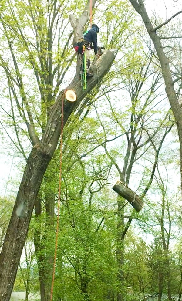 Alpine Tree arborist in a tree cutting pieces off for tree removal