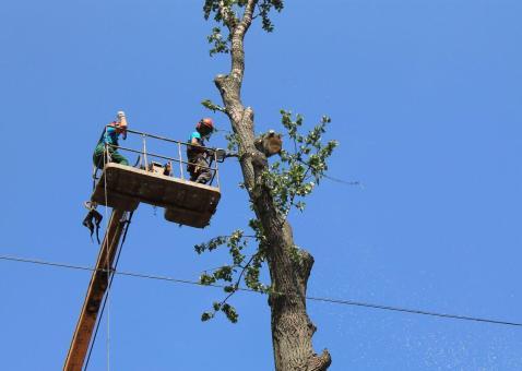 Кронирование и обрезка дерева альпинистами