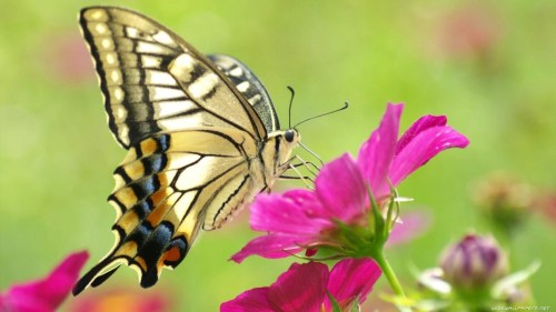 تفسير حلم الفراشة في المنام