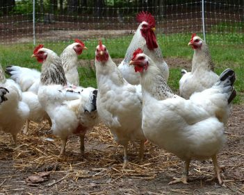 تفسير حلم الدجاج الحي في المنام