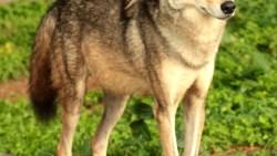 تفسير حلم عضة الذئب في المنام
