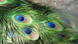 تفسير رؤية ريش الطاووس في المنام للعزباء