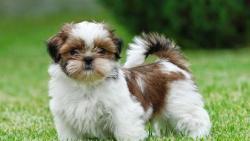 اشهر أنواع الكلاب الصغيرة