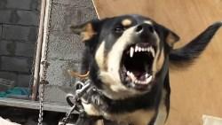 صفات كلب الهسكي السيبيري Huskies