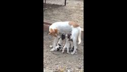 صفات كلب البودل