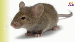 تفسير حلم مسك الفأر في المنام