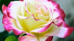 تفسير حلم يعطي الورود في المنام