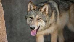 تفسير حلم الذئب للحامل