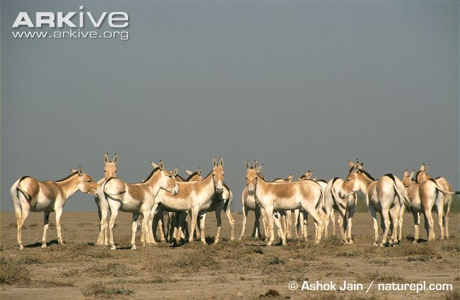 Herd-of-Indian-wild-asses