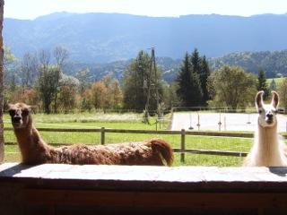Lamas als Kirchenwächter am Pressegger See