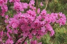 Maralnik Blossoms