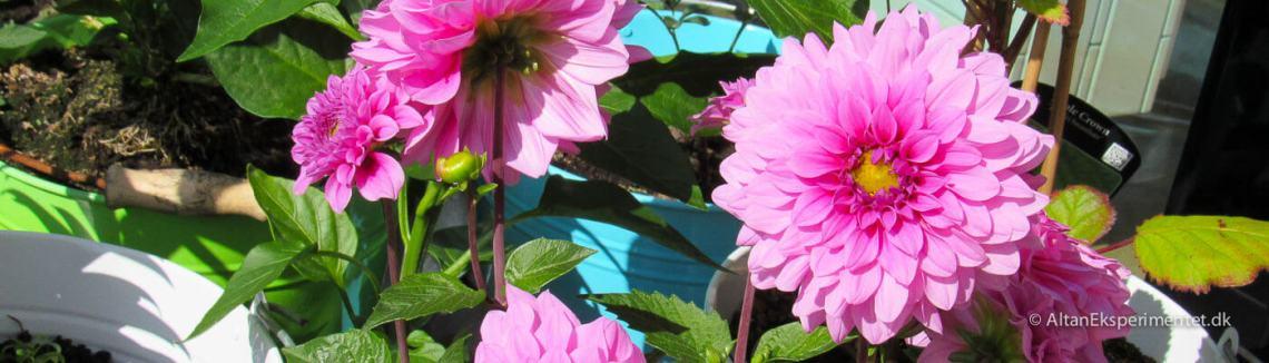 Altan Eksperimentet Pink Dahlia