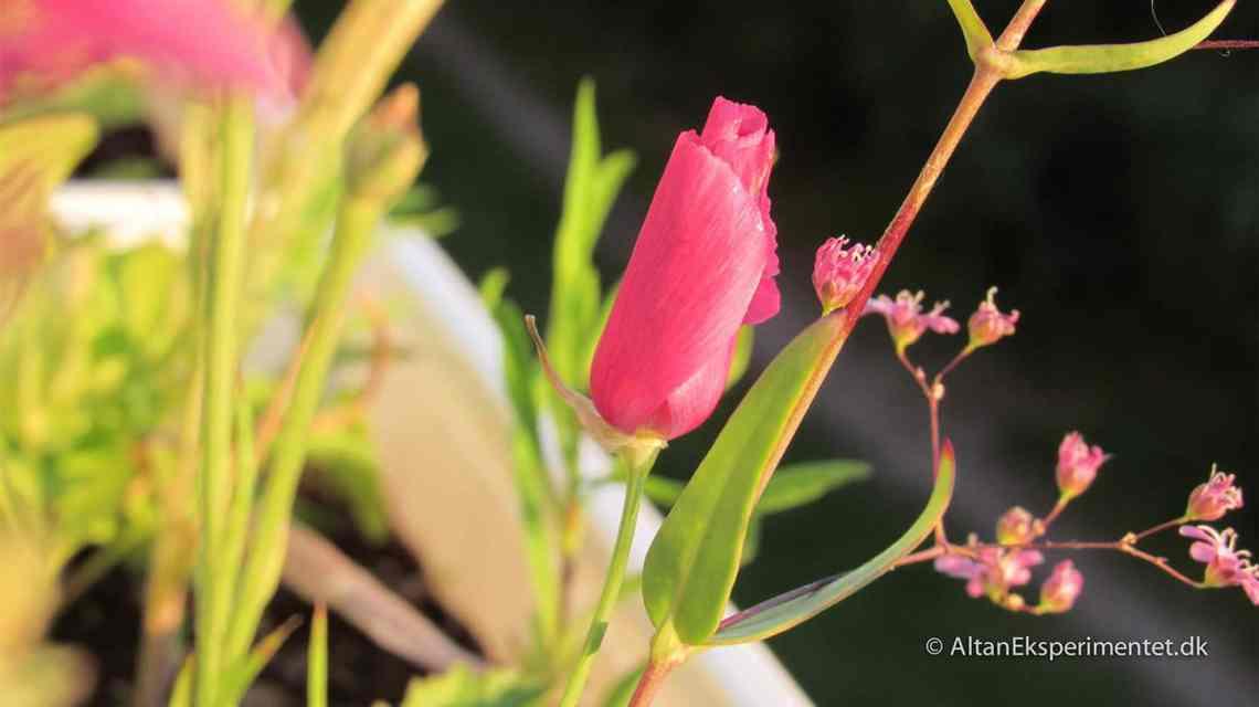 Pink blomster i altankassen