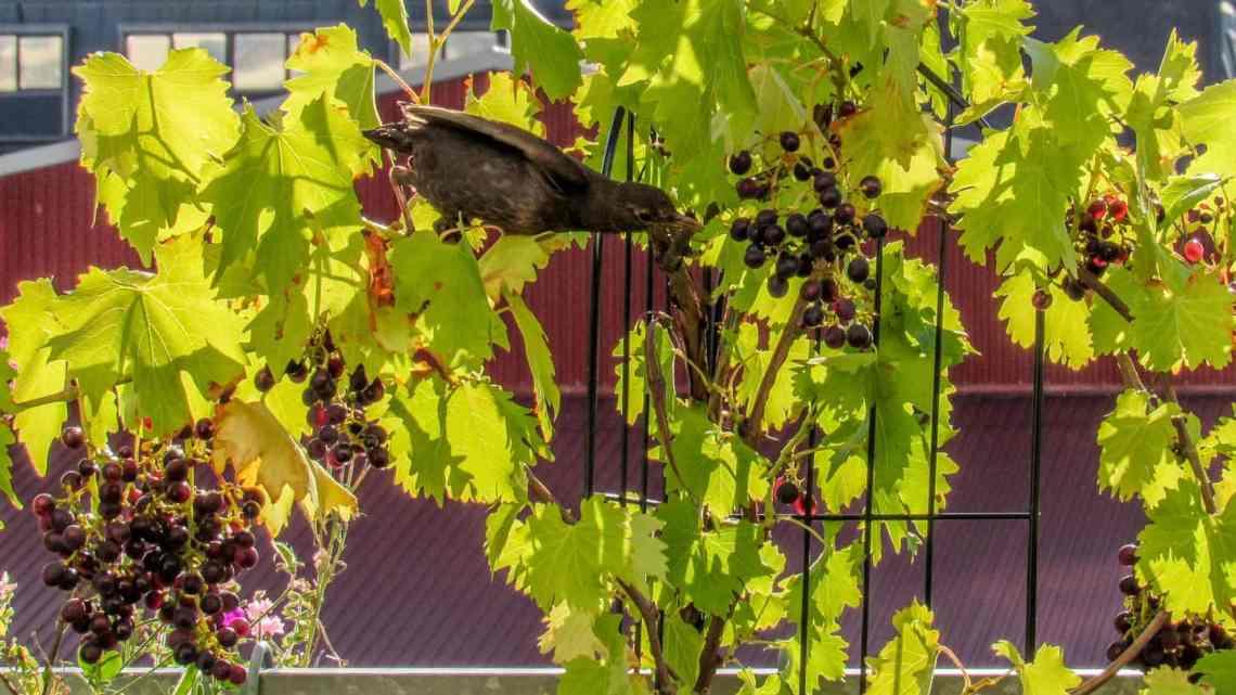 Systematisk plyndring af vinranke