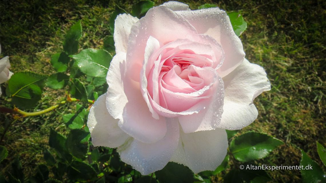 Souvenir de la Malmaison er en historisk rose