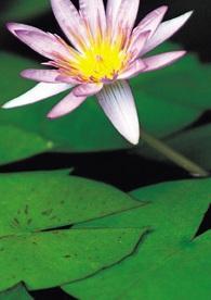 feg_lotus.jpg