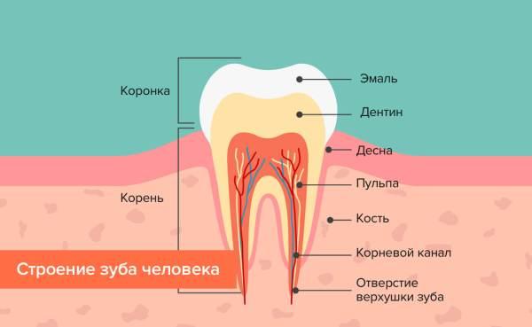 Как выглядит зуб и как корень зуба Альтернативная ...
