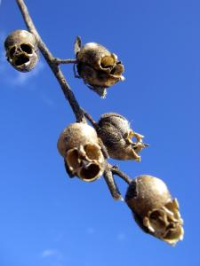 Weird Flowers - 12. Snap Dragon Seed Pod (Antirrhinum majus)