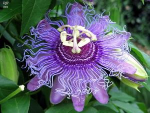 Weird Flowers - 16. Passion Flower (Passiflora incarnata)