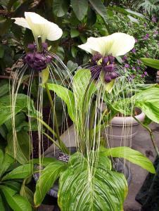 Weird Flowers - 2. Bat plant (Tacca integrifolia)