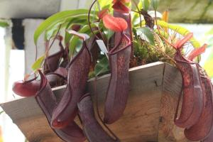 Weird Flowers - 29. Tropical pitcher plant (Nepenthes)