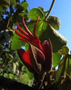 Weird Flowers - 36. Devils Hand (Chiranthodendron pentadactylon