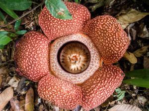 Weird Flowers - 4. Corpse Flower (Rafflesia keithii)