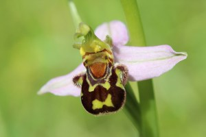 Weird Flowers - 9. Bee Orchid (Ophrys apifera)