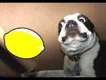 Dogs Reacting To Lemons