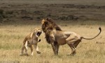 Hilarious photos showing lion lover's tiff at reserve in Kenya