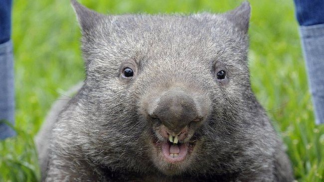 Meet Patrick, the 'oldest' and 'biggest' wombat in the world