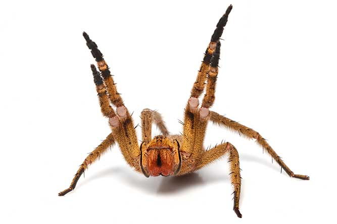 Brazilian Wandering Spider O Alter Minds