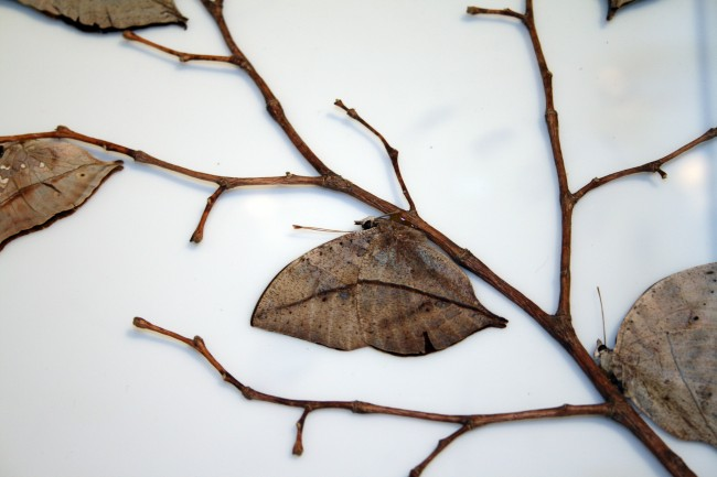 Camouflage Animals - Dead Leaf Butterfly (Kallima inachus)