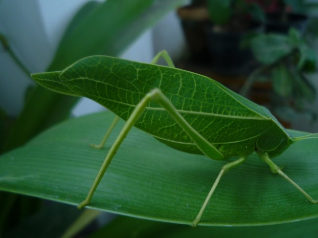 Camouflage Animals - Leaf Insect (Phylliidae)