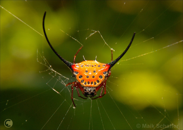 Long-Horned Orb-Weaver Spider