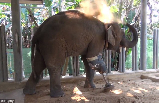 3 Legged Elephant Gets a New Chance at Life!
